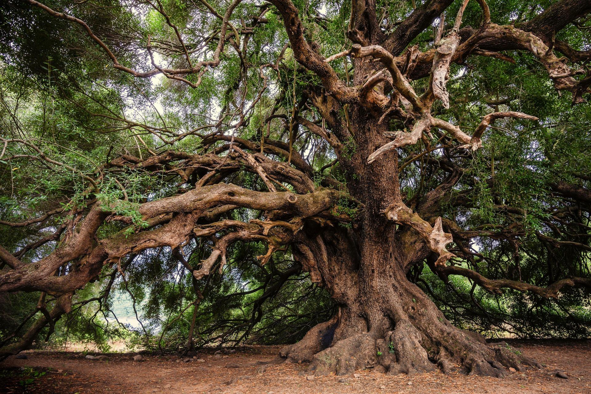 olive-tree-3579922_1920